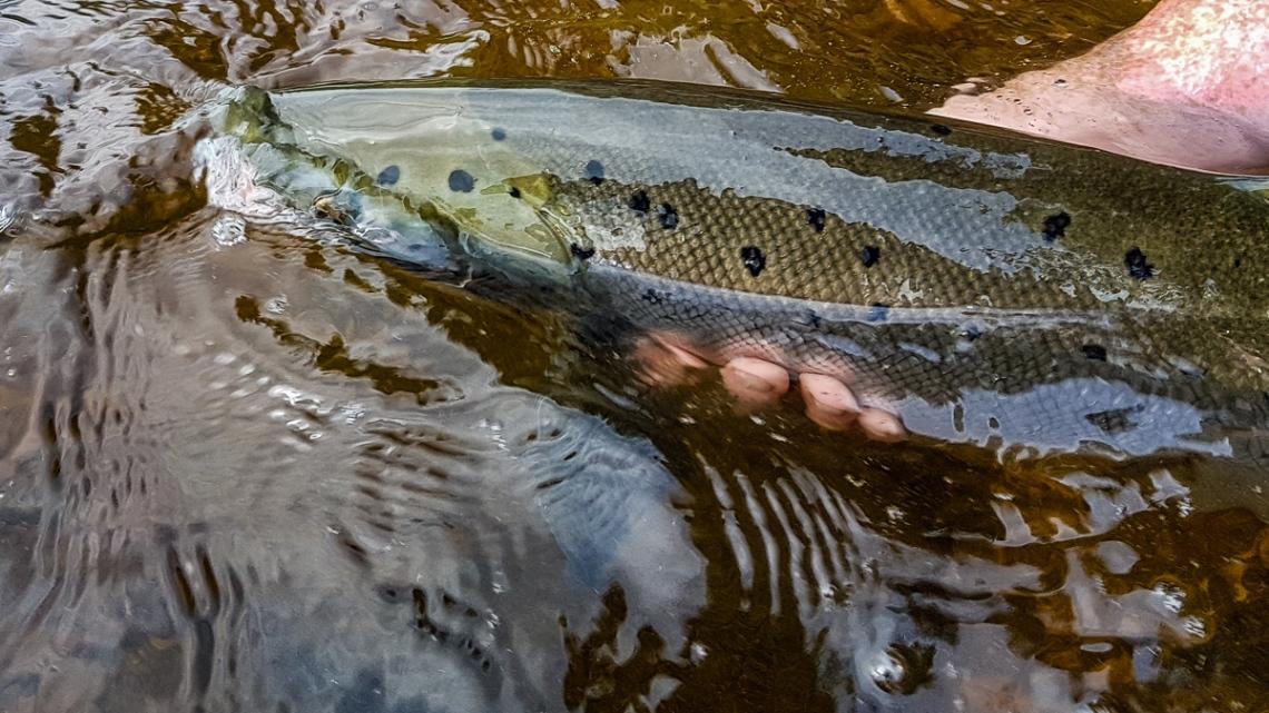 Kieran-Kalix-salmon-2017-1-5
